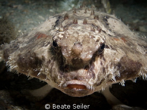 Roughback Batfish by Beate Seiler 